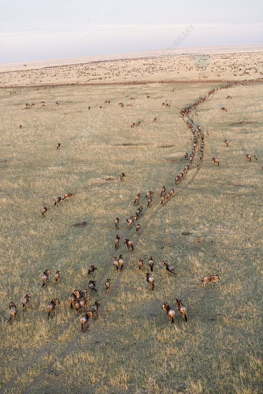 Gnus or Wildebeests migrating