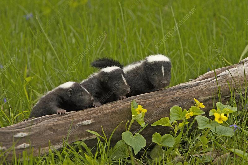 Striped Skunk babies (Mephitis mephitis)