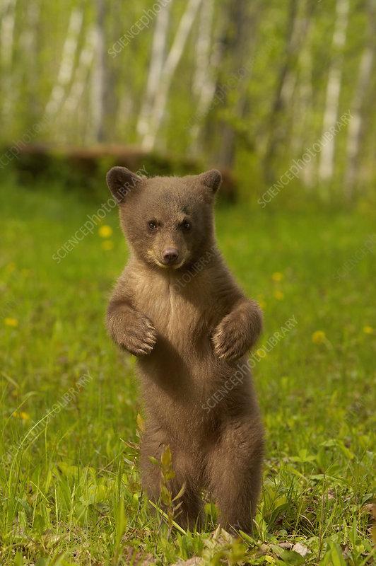 Black Bear cub standing