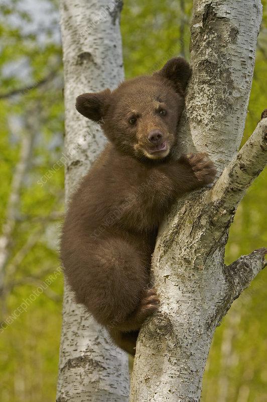 Black Bear (Ursus americanus) female cub