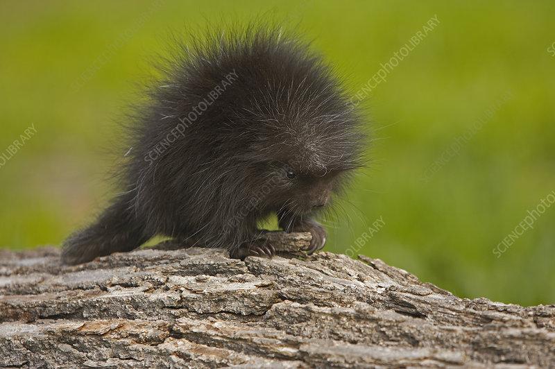 Porcupine juvenile (Erethizon dorsatum)