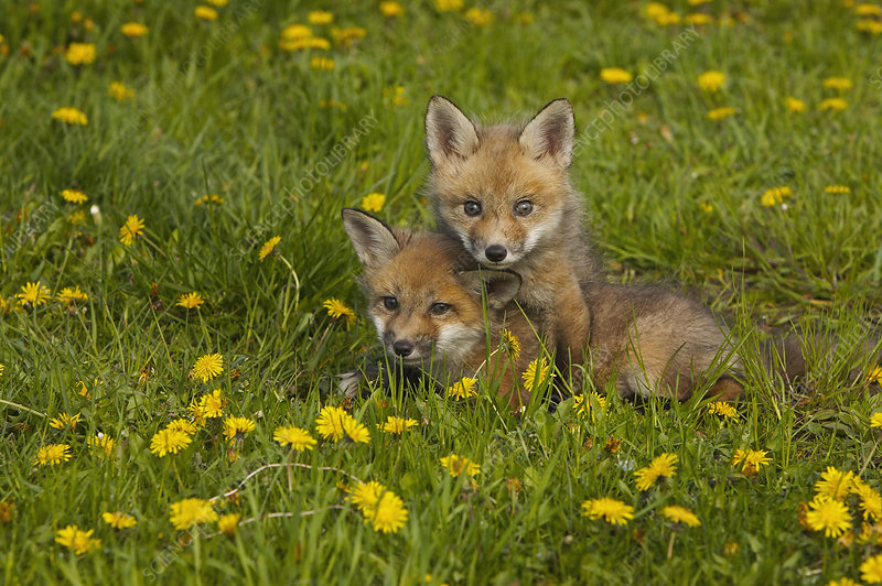 Red Fox cubs playing in a field