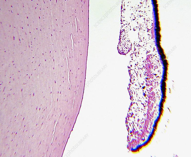 Histology of the human eye