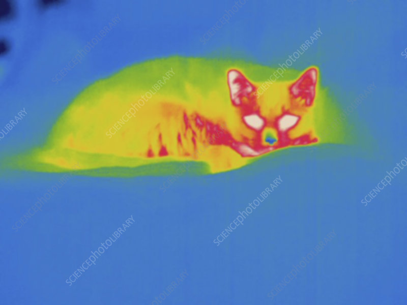 Thermogram, Cat, color variation