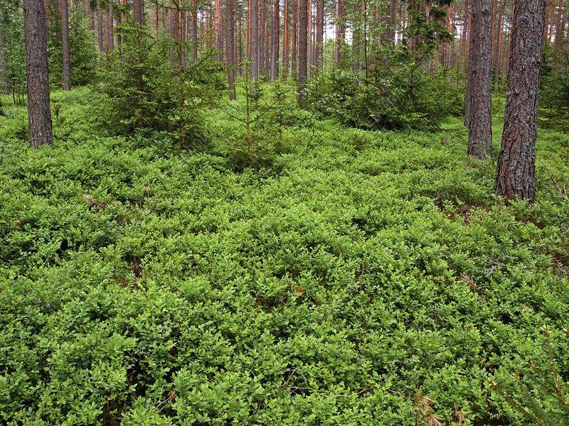 Wild blueberry (Vaccinium sp.)
