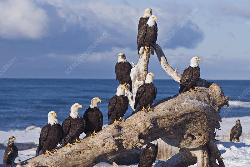 Mature Bald Eagles