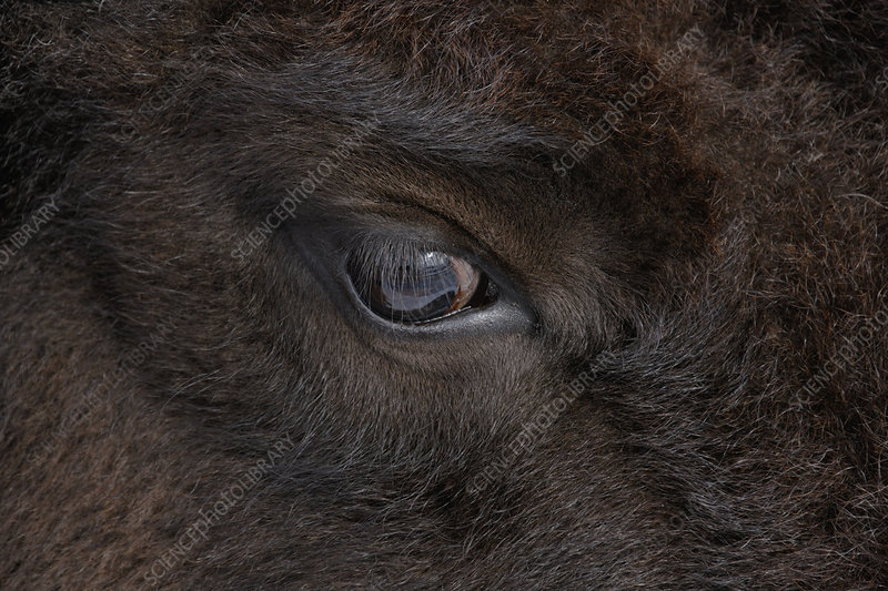 American Bison Eye (Bison bison)