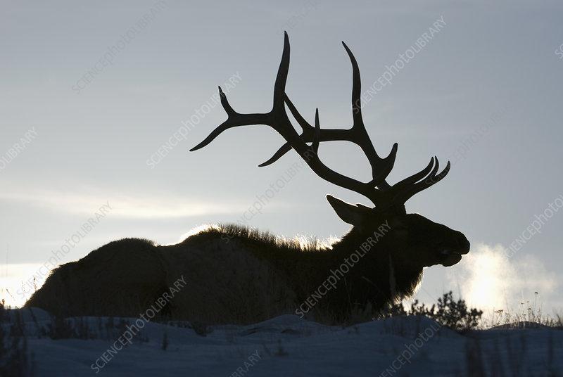 Bull Elk (Cervus elaphus) in winter