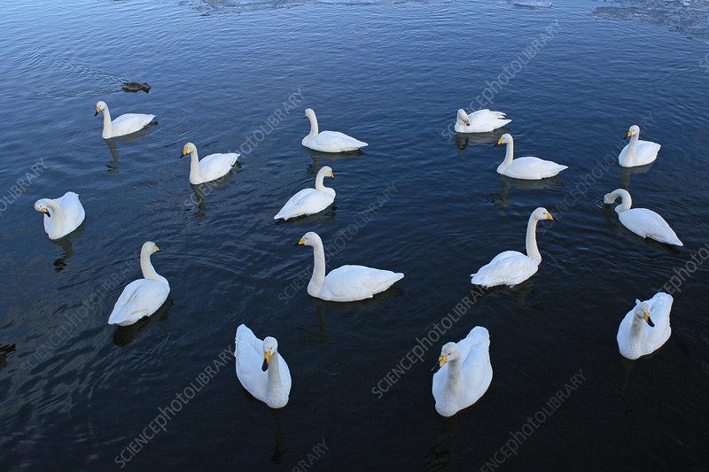 Whooper Swan swimming (Cygnus cygnus)