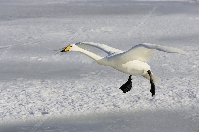 Whooper Swan in flight ,Olor cygnus,