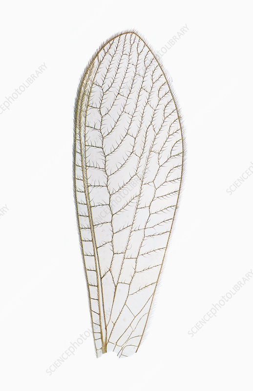 Lacewing wing LM