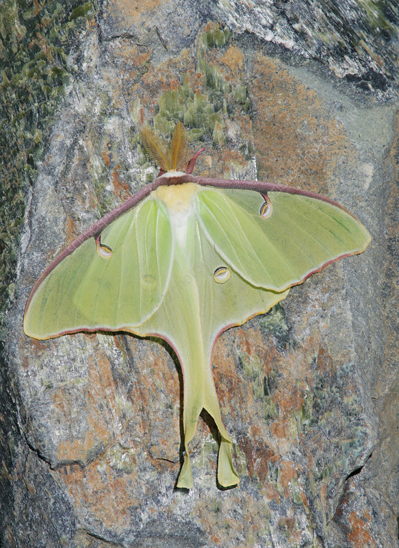 Luna Moth ,Actias luna, Northeastern USA