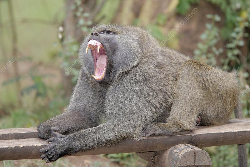 Olive Baboon Yawning (Papio anubis)