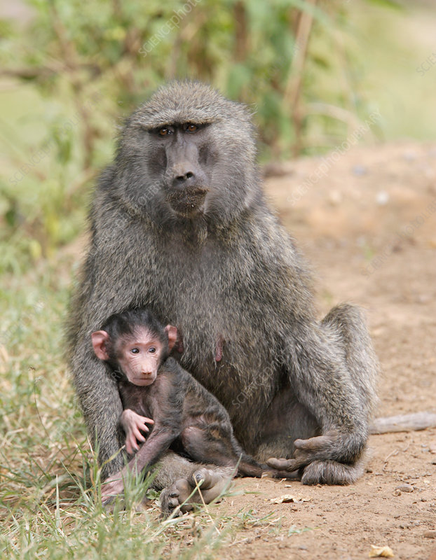 Olive Baboon with Baby (Papio anubis)