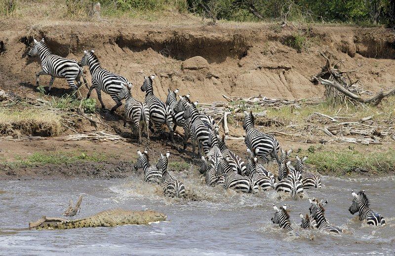 Burchells Zebras, Crocodile, Mara River