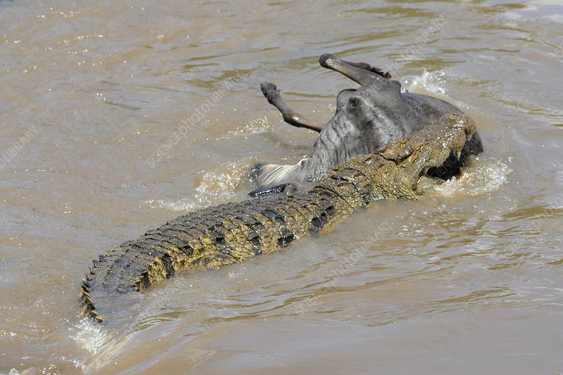 Nile Crocodile with prey