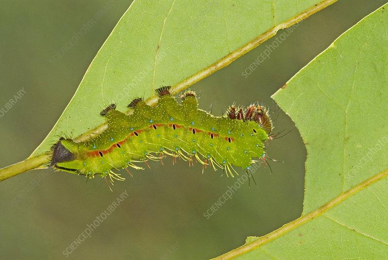 Saturnid Moth caterpillar eating leaf