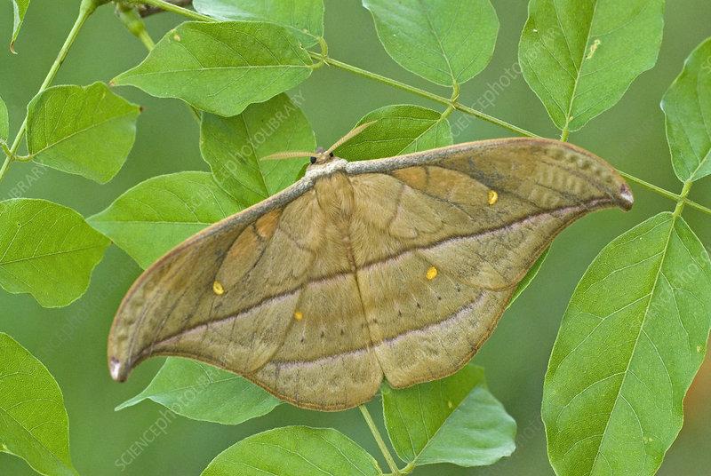 Saturnid Moth adult male