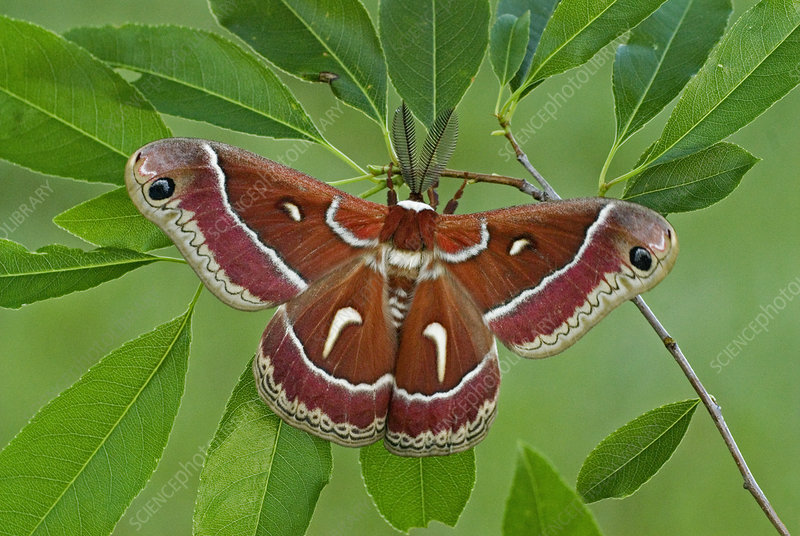 Cecropia Moth adult male