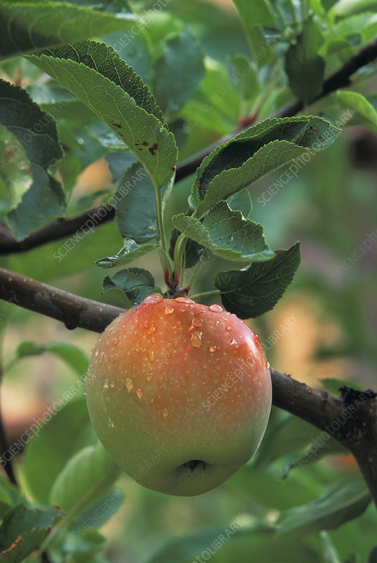 An apple in the ripening stage