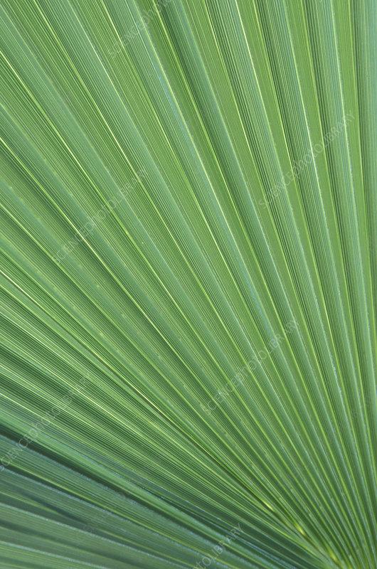 California Fan Palm ridges