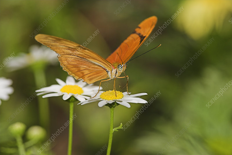 Julia Butterfly sipping nectar