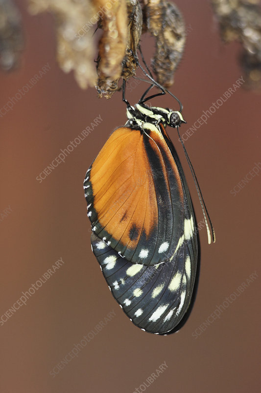 Butterfly emerging from its chrysalis
