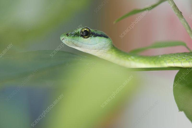 Parrot Snake (Leptophis ahaetuella)