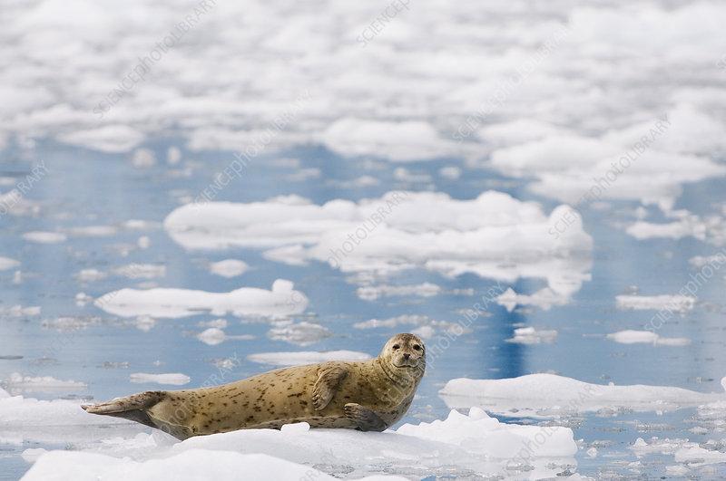 Harbor Seal on ice (Phoca vitulina)