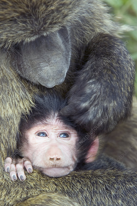 Olive Baboon and its young being groomed