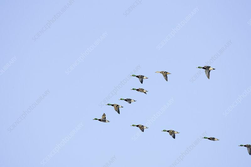 Mallard Ducks flying in a V formation