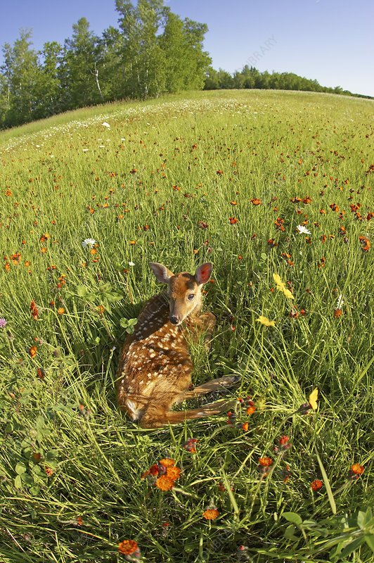 White-tailed Deer fawn rest in meadow