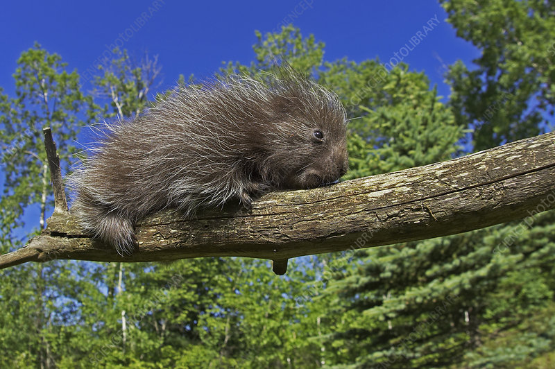 Baby Porcupine on a tree branch