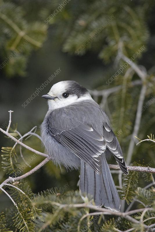 Gray Jay (Perisoreus canadensis), USA