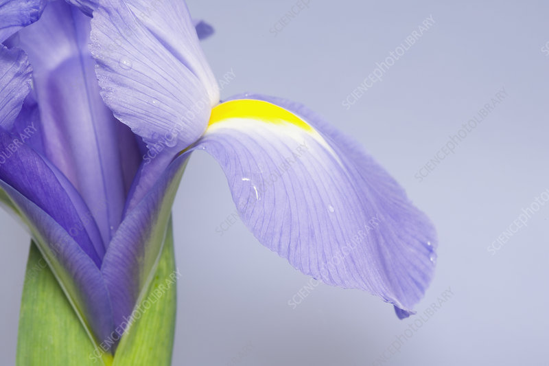 Close-up of an Iris flower