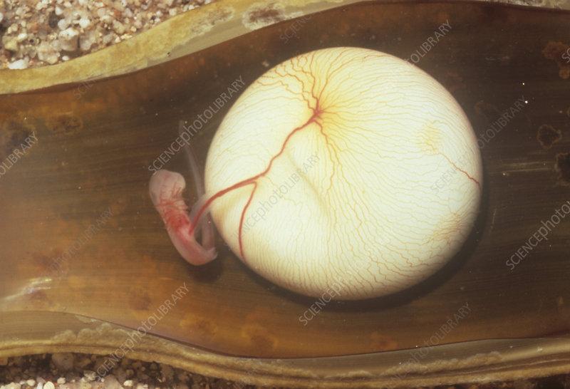 Swell Shark embryo in egg case