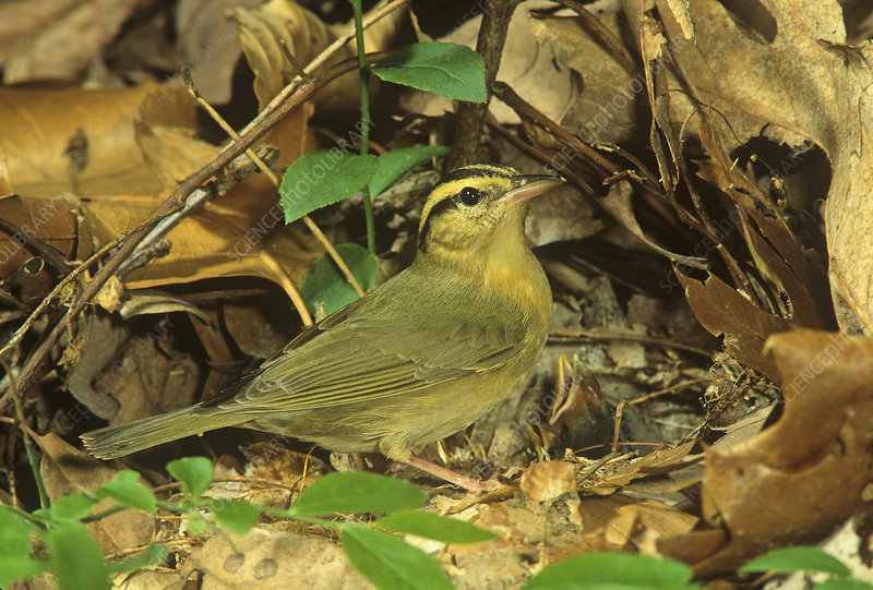 Worm-eating Warbler, caring cowbird chick