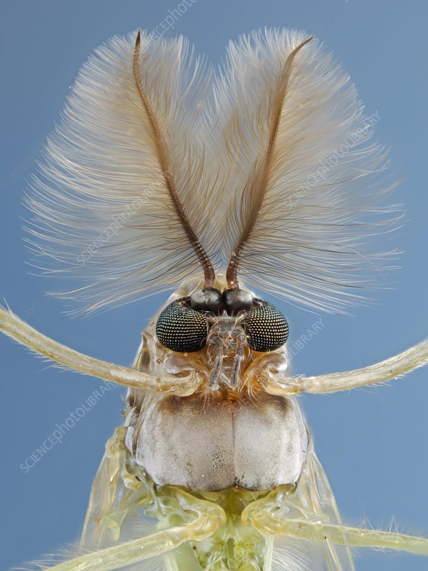 Head of a non-biting Midge,(Chironomus)