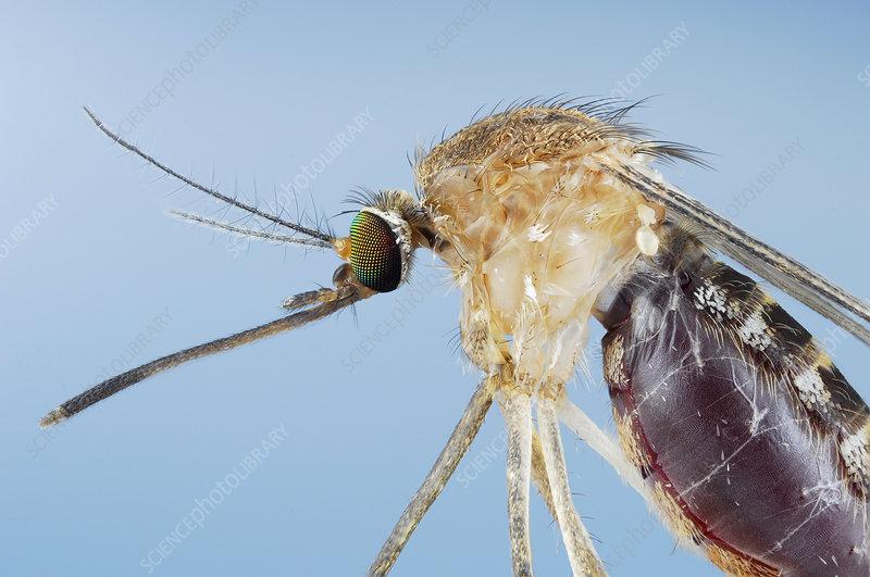 Female Mosquito (Culex pipiens)