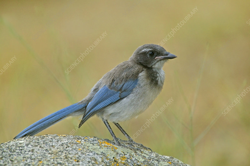 Immature Western or Pacific Scrub Jay
