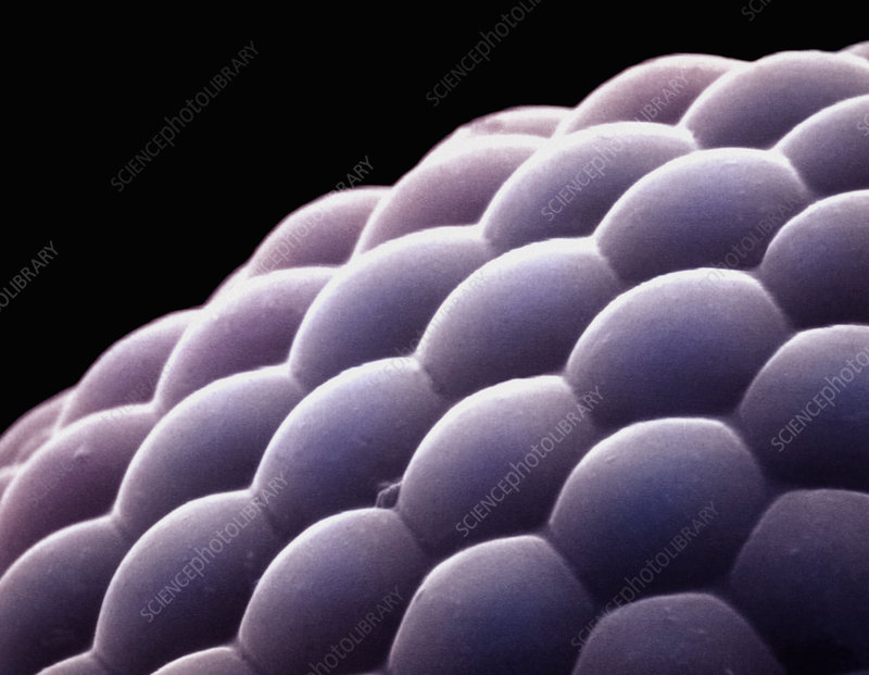 Compound eye from an insect