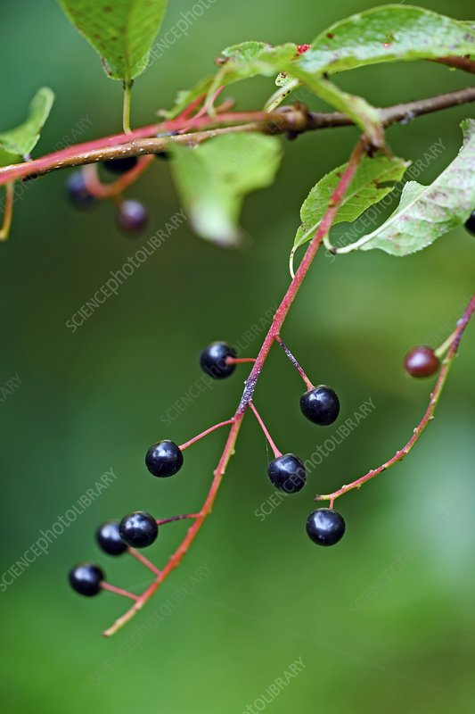 Bird cherry (Prunus padus) fruits