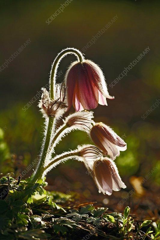 Spring pasque (Pulsatilla vernalis)