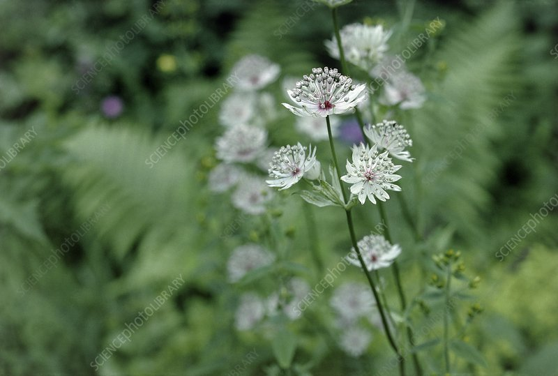 Masterwort (Astrantia major) flowers