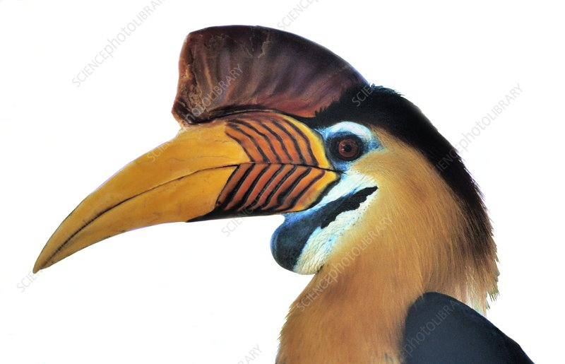 Sulawesi red-knobbed hornbill