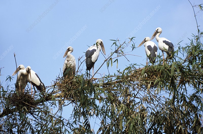 Asian openbill storks in a bamboo tree