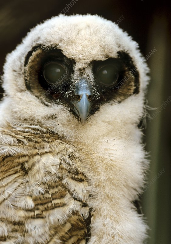 Brown wood-owl chick