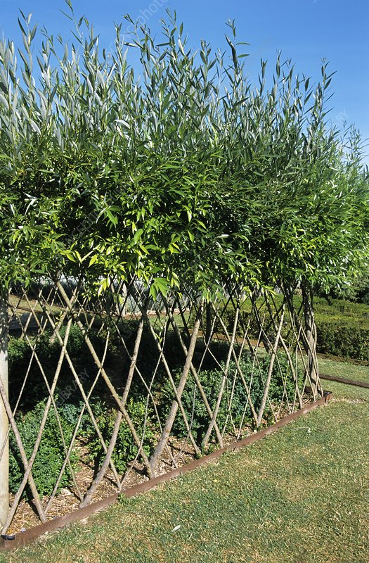 Fence made from living willow