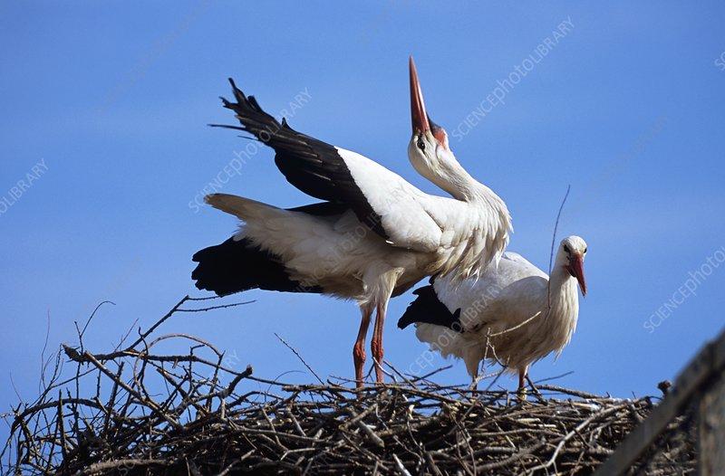 White storks pair-bonding on their nest