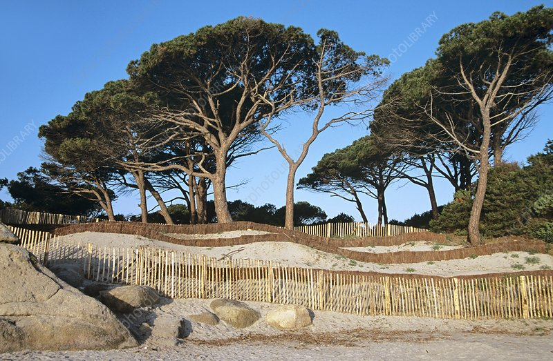 Trees and dune protection system